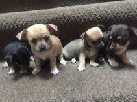 Chihuahua puppys !