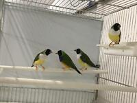Best Gouldian finch for sale
