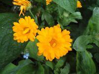 Plant for sale- A calendula plant