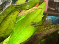 Male pea puffer/ dwarf puffer fish