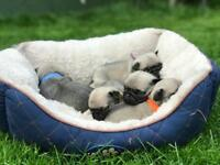 *3 Left* Beautiful Fawn KC Registered Pug Puppies