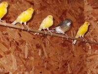 Canaries for sale. Yellow ,White,Buff .Cocks and Hens