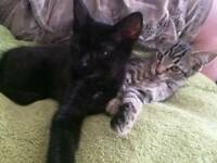 Kittens one black girl and one black boy