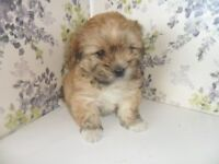 Beautiful F1 Maltese x Lhasa Apso Puppies