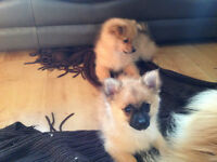 Female Pomeranian Puppy For Sale 595 ono