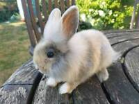 13 week old x mini lop bunny/kits for sale lovely nature
