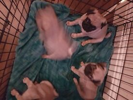 Stunning kc registerd pug puppies 800