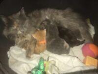 3 beautiful egyptian mau's / russian blue kittens
