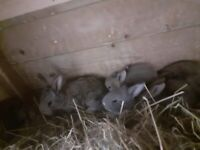 Baby contanteal giant pure rabbits