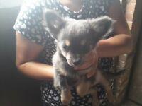 chihuahua (blue boy)