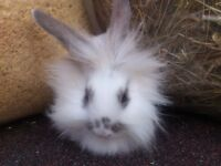 show quality fluff ball baby rabbits (lions)