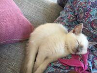 10 week old Russian Blue Colourpoint Male kitten