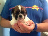 Miniature Pedigree shitzu puppy (1 girl left)