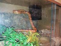 4.6ft Corn Snake with 2 vivariums.