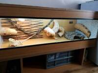 Full setup with adult bearded dragon