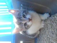 3 Adorable Kittens for sale *** only the grey kitten left ***