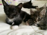 2 gorgeous female kittens for sale - see pics