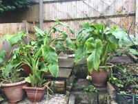 Mature Arum Lillies in large pots. £20