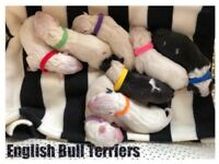 KC Registered English Bull Terrier Puppies