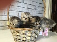 Full Persian Kittens