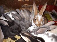 Rex baby rabbits
