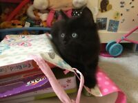 Black kittens for sale, very playful and great with children.