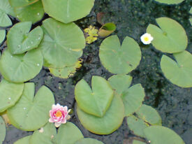 Pond water lily plants