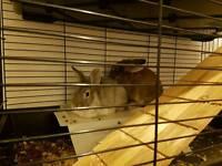Female rabbits x2