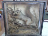 Taxidermy cased squirrel