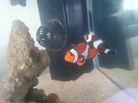 Contents of my coral reef aquarium for sale. Including Clown fish, euipmemt etc