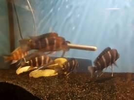 Frontosa cichlid fish
