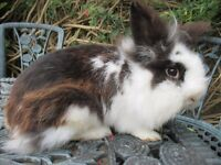 Lionhead Rabbit ready to go to a 5* home doe