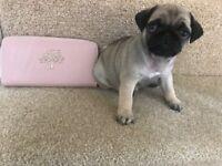 Beautiful KC REG pug puppy's for sale