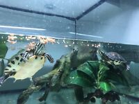 2x Terrapins with large tank