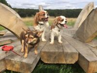 Dog walker in Birtley, Low fell, Whickham & Gateshead