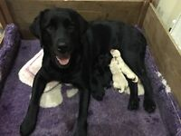 Home-reared yellow and black Labrador puppies