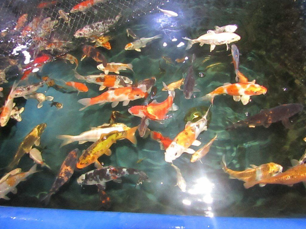 Koi Carp 2 To 7 Lovely Colours All Types Some Larger Koi From Pond