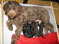 Minature Labradoodle Puppies for sale