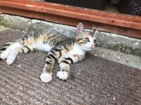 Stunning 3 month old female mix breed bengal kitten