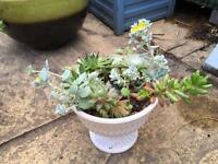 Outdoor succulent