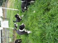 Border Collie puppies for sale