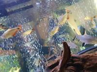 Large red fin tetra