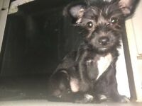 Beautiful puppies mixed Yorkshire terrier/tiny Russian toy terrier 2 girls 1 boy 3 mouths old