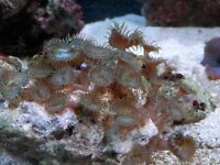MARINE LIVE CORAL ZOA COLONY ON LIVE ROCK 30+ HEADS WYSIWYG
