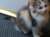 Fluffy female kitten for sale