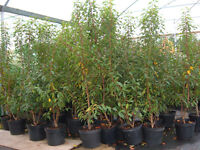 PORTUGESE LAUREL 10lt potted 5-6ft tall £35 top luxury evergreen hedging.low low price, topvalue
