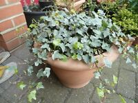 Variegated ivy plants in a large 40 cm plastic pot