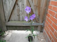 Plant for sale-A small pot of bellflower or campanula plant in flower now