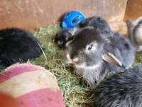 Sweet little mini lop baby rabbits