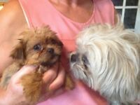 Poodle Cross In Cheshire Dogs Puppies For Sale Gumtree